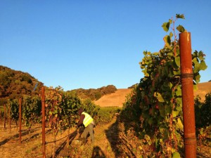 Picking grapes in the early morning light