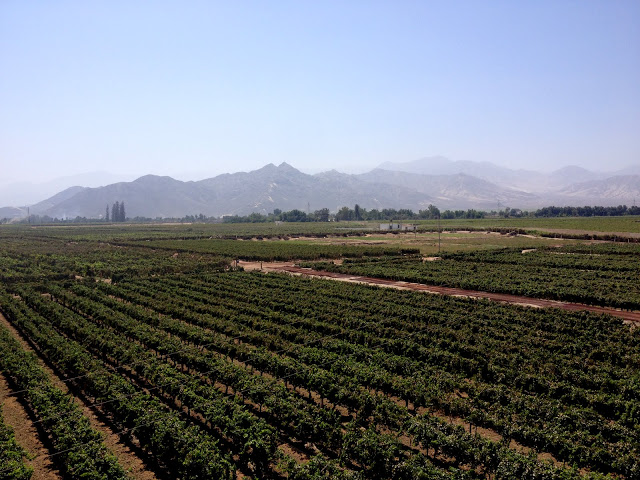 "Picking pisco grapes in the vineyards of Ica, Peru (see ""Wandering Traveler"")"