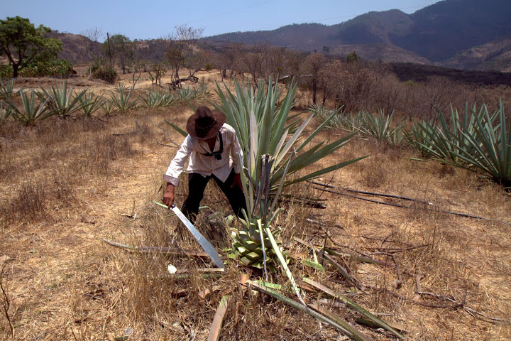 Watching a mature agave plant cut down by machete from a lifelong jimador